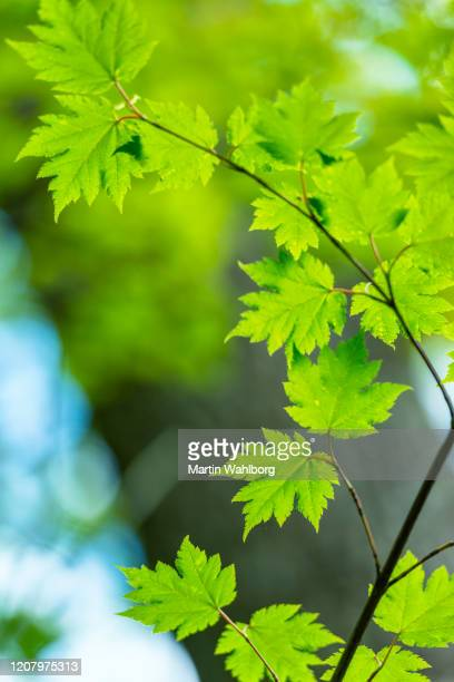 springtime japanese maple - maple tree stock pictures, royalty-free photos & images