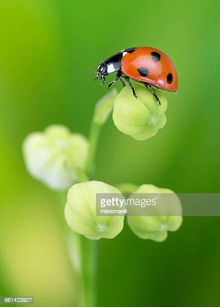 springtime ladybug - coccinella foto e immagini stock