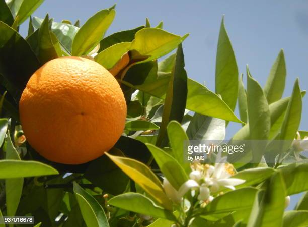 springtime orange on tree, ripe - orange blossom stock photos and pictures