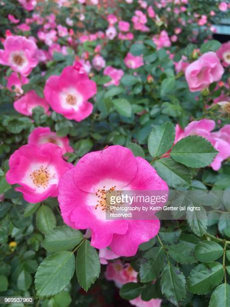 springtime  outdoors wild pink roses - rose colored stock pictures, royalty-free photos & images
