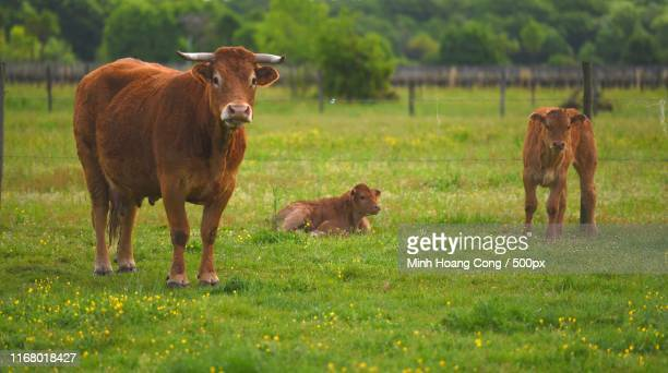springtime - vache stock photos and pictures