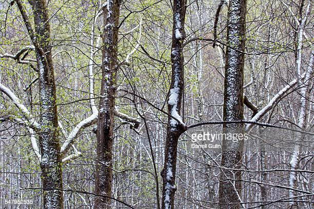 springtime snow hardwoods hwy 441 to newfound gap - newfound gap stock pictures, royalty-free photos & images