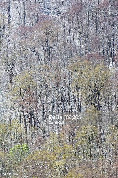 springtime snow hardwoods hwy 441 to newfound gap - newfound gap stock photos and pictures