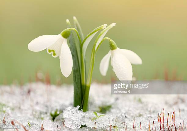 Springtime snowdrops