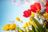Springtime tulip flowers against a blue sky in the sunshine
