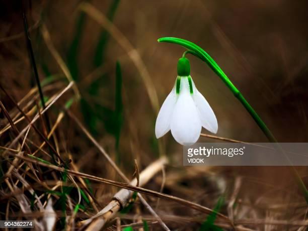 Printemps à la fleur de perce-neige.