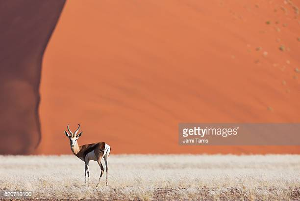 A sprinkbok standing in front of a dune