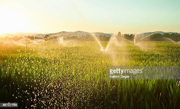 sprinklers watering cornfield - sprinkler system stock pictures, royalty-free photos & images