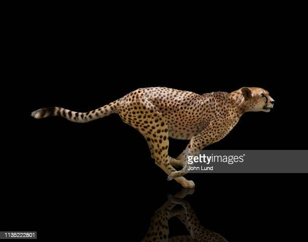 sprinting cheetah on black background - cheetah stock pictures, royalty-free photos & images