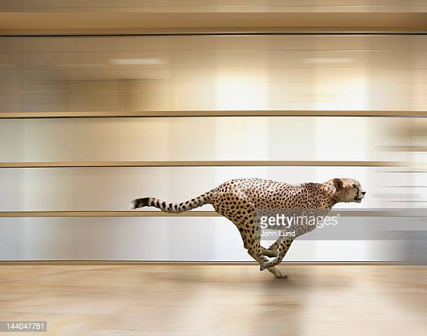 A sprinting cheetah speeds through an office