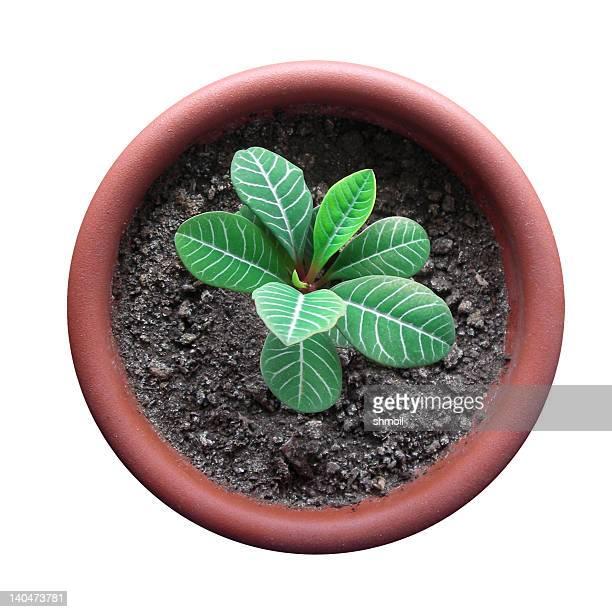Germoglio in flowerpot