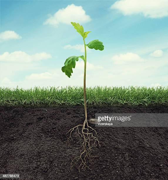 sprout of oak with root in ground at sky background - seedling stock pictures, royalty-free photos & images