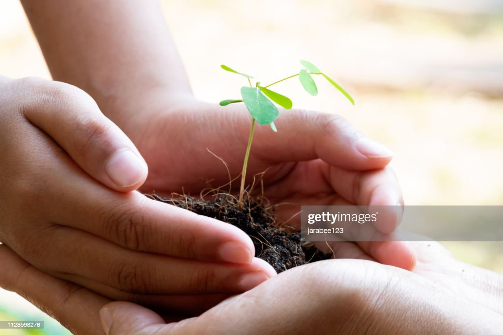 Sprout Plant and Soil Holding in Hands. Tree Growing and Prevent by Human. Environment and Ecology Concept : Stock Photo