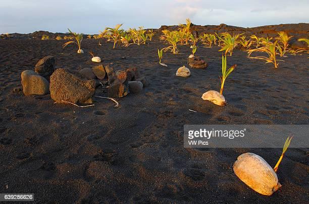 Sprouted Coconuts on New Black Sand Beach at Sunrise Kaimu Beach at Kalapana Kaimu Bay Puna District Big Island of Hawaii