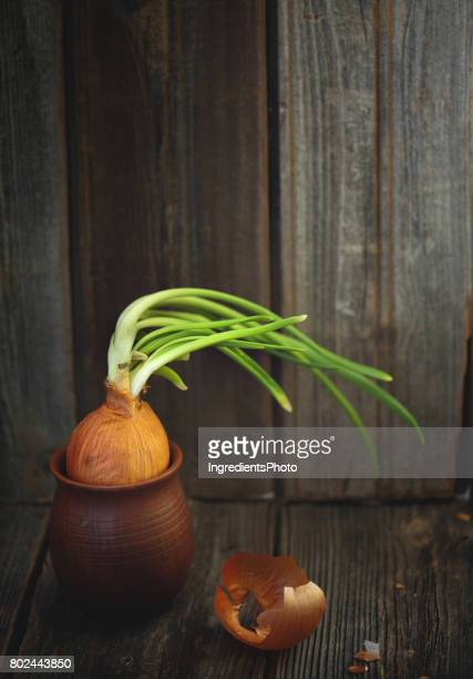 Sprouted onion in a little clay pot on wooden table.