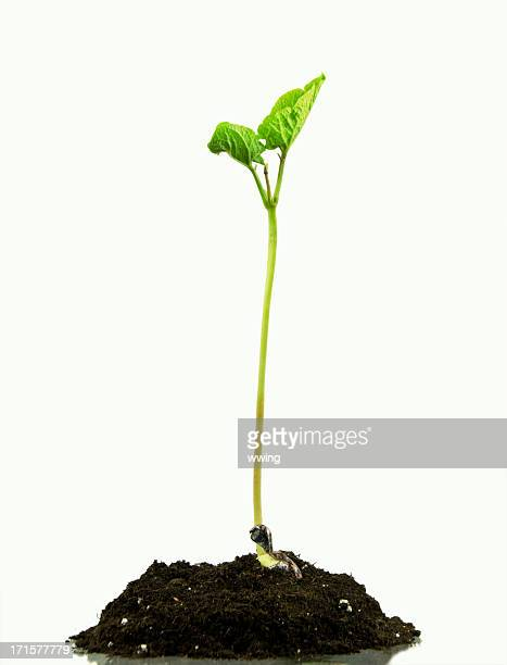 sprouting bean - bean sprout stock pictures, royalty-free photos & images