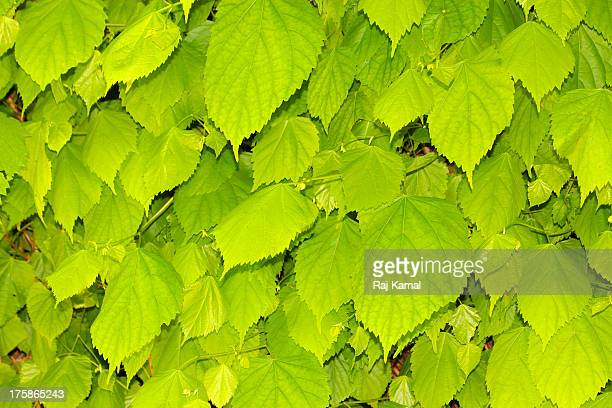 Sprouting leaves of Tilia platyphyllos. Lime Tree.