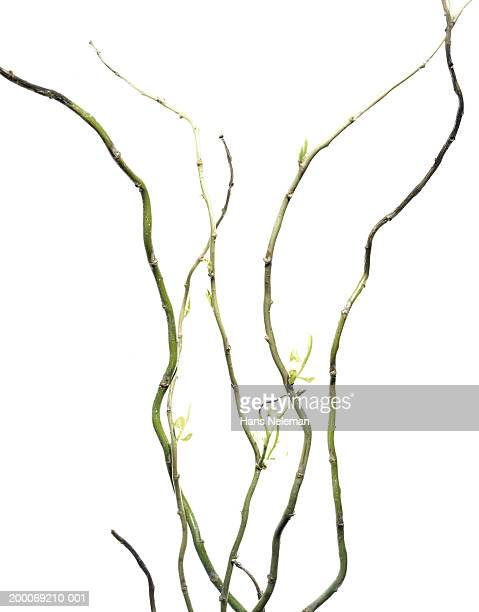 sprouting stems of willow (salix sp.) - creation stock pictures, royalty-free photos & images