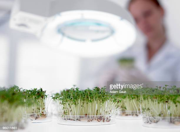Sprouts growing in petri dish under magnification lamp