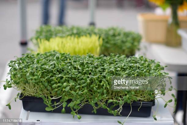 sprouts - bean sprout stock pictures, royalty-free photos & images