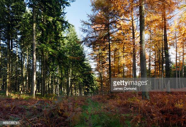 Spruce and Larch Trees in Autumn.