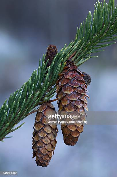 Spruce cones on a single branch, near Ouray, Colorado, United States of America, North America