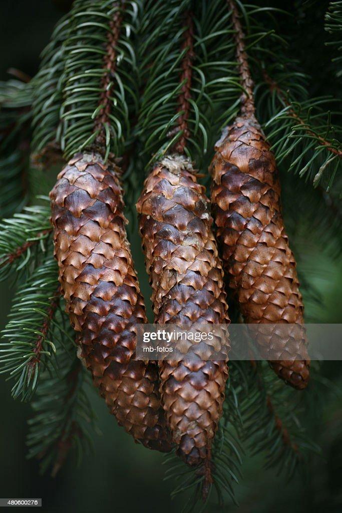 spruce cones : Stock Photo