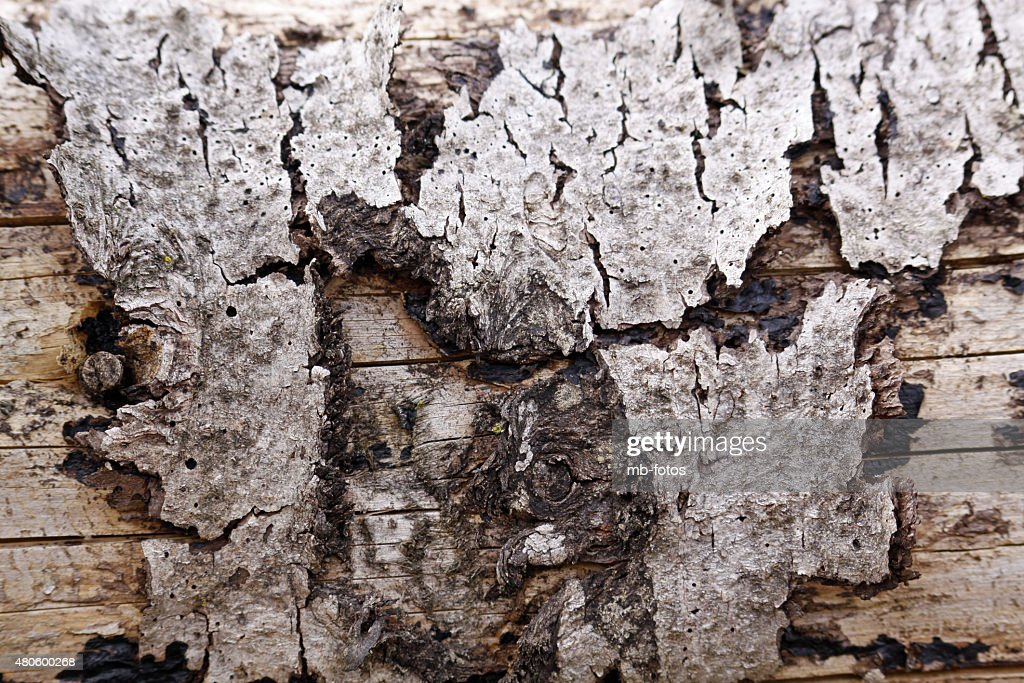 Spruce deadwood with bark remnants : Stock Photo
