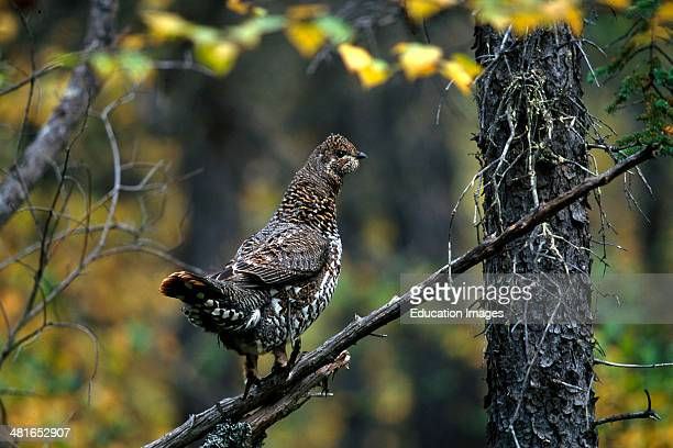 Spruce Grouse Dendragapus canadensis In the dense undergrowth at the Brooks River busy to collect the red cranberries