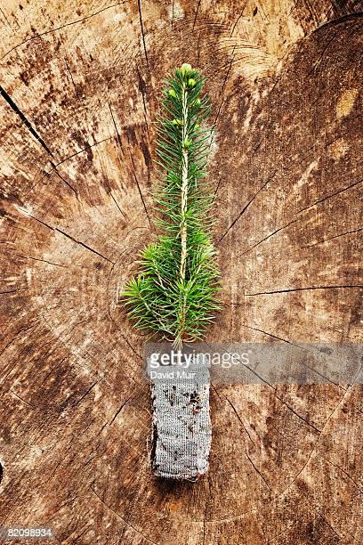 spruce seedling