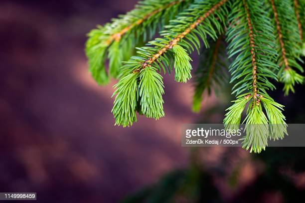 spruce sprout - spruce tree stock pictures, royalty-free photos & images