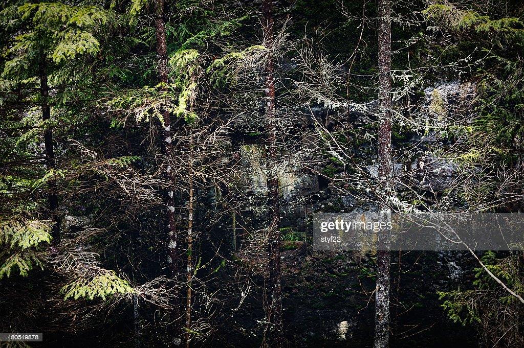 Abeto thicket : Foto de stock