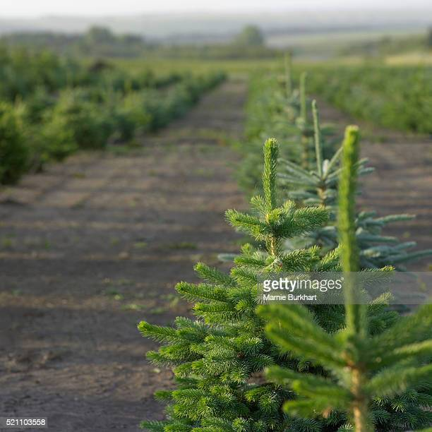 Spruce tree farm
