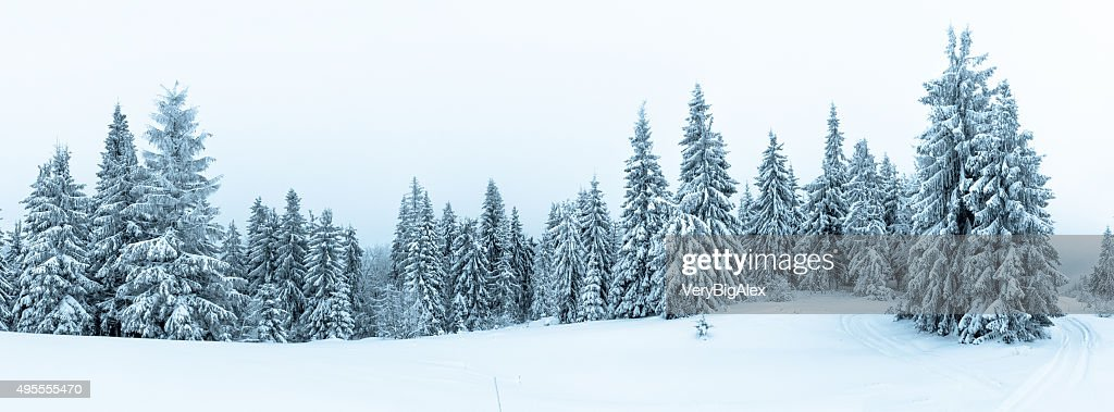 Spruce Tree Forest Covered by Snow in Winter Landscape : Stock Photo