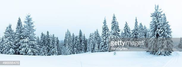 spruce tree forest covered by snow in winter landscape - landschap stockfoto's en -beelden
