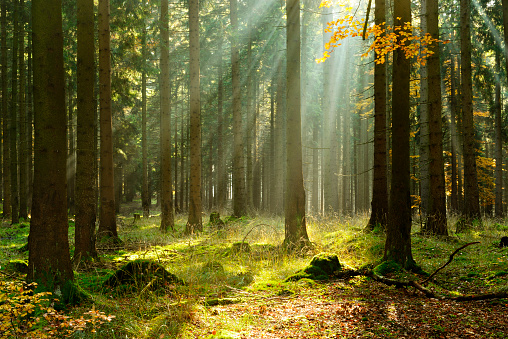 Spruce Tree Forest in Autumn Illuminated by Sunbeams through Fog 499689946