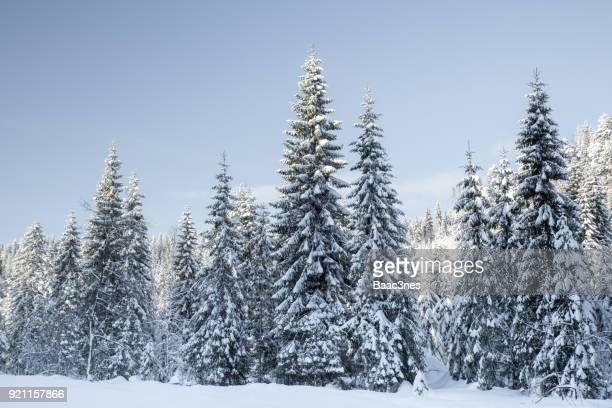 spruce trees covered in snow - drammen, norway - northern europe stock pictures, royalty-free photos & images