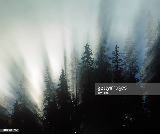 Spruce trees (Picea sp.) in fog, Jamtland, Sweden