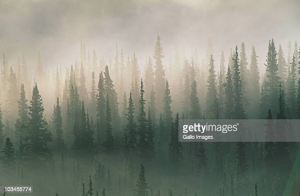 spruce trees in morning fog, denali national park, alaska, usa - territorio selvaggio foto e immagini stock