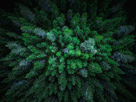 Spruce trees seen from above - gettyimageskorea