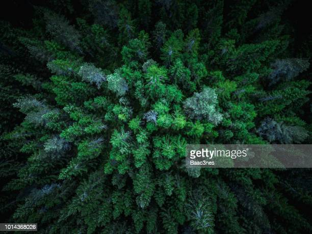spruce trees seen from above - forest stock pictures, royalty-free photos & images