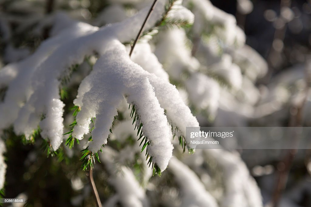 Spruce Twigs Covered in Snow : Stock Photo