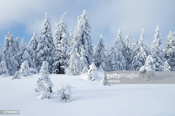 spruce winter forest iii - spruce tree stock pictures, royalty-free photos & images