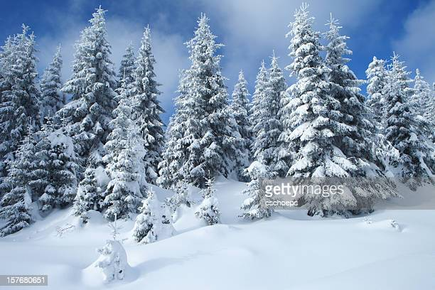 Spruce Winter Forest