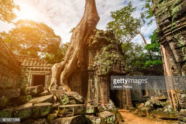 Spung tree cover Ta Prohm temple in Siem Reap, Cambodia