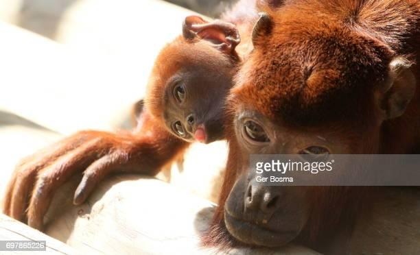 Spunky Baby Howler Monkey