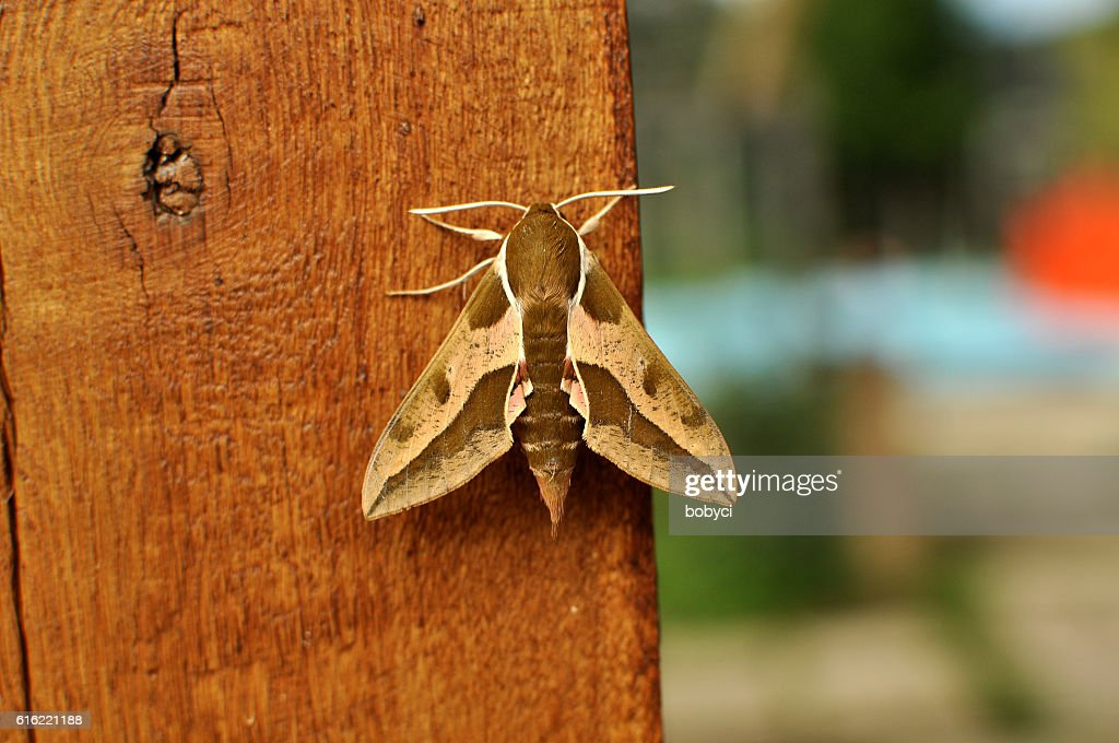 Spurge Hawk-moth (Hyles euphorbiae) : Stock Photo
