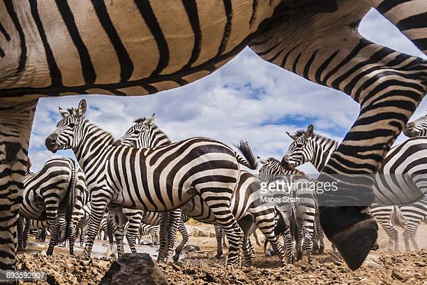 A spy camera capturing Zebra