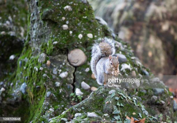 A sqirrel eating a nut Impressions of the Fall in the capital of Piedmont Turin in Northern Italy on 1st November 2018
