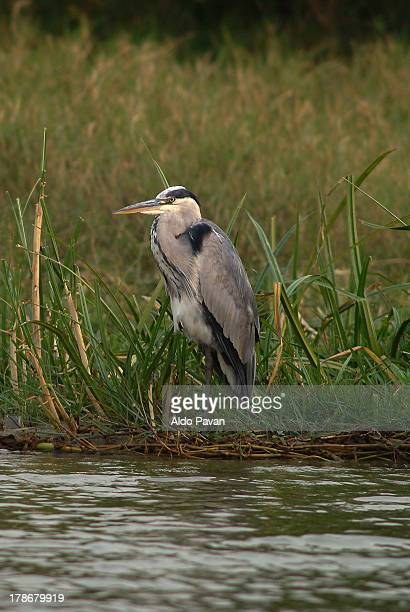 Squacco Heron, Queen Elizabeth National Park,